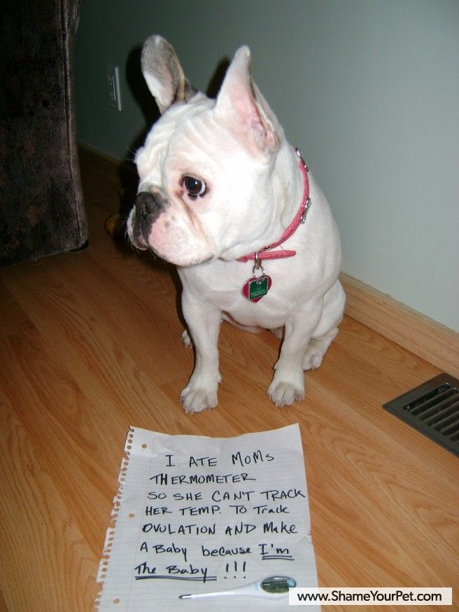 Shame Your Pet | Dog Shaming • Cat Shaming | Shame Your Pet  --You know they would do it IF they could: Dogs Today, French Bulldogs, Dog Shaming, Pet Dogs, Pet Fun, Cat Shaming, Dogs Shaming, Frenchi Shaming, Naughti Animal