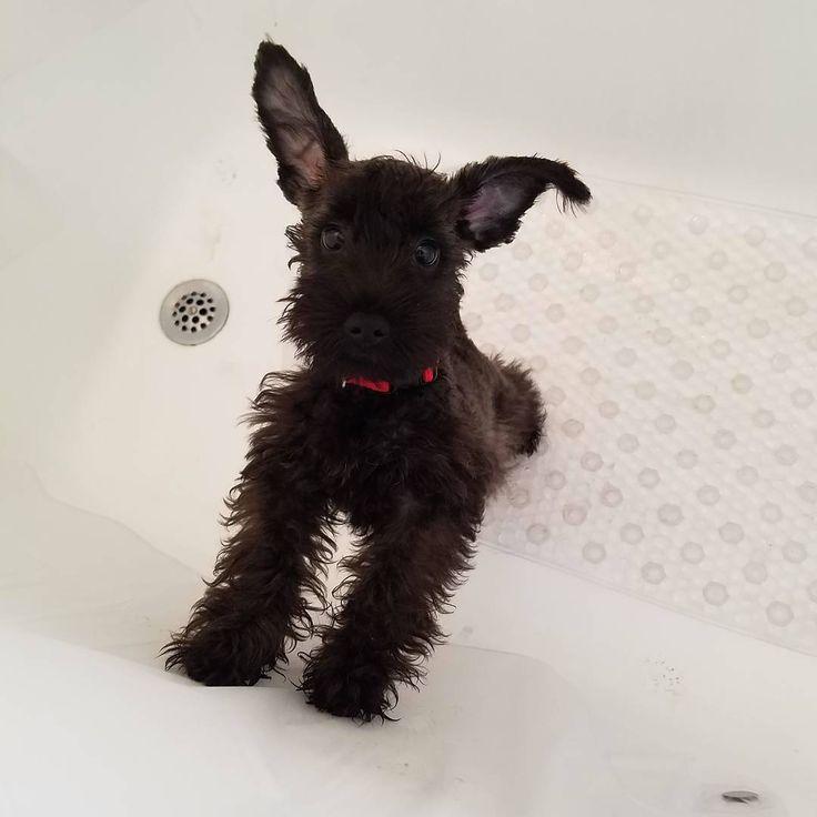 Baby Bruce ❤ #tbt  #schnoodle  #schnoodlesofinstagram #miniatureschnauzer #miniatureschnauzers #minischnauzers #minischnauzer #schnauzer #schnauzers #schnauzerofnyc #schnauzersofnyc #schnauzerofinstagram #schnauzersofinstagram #peppertheschnauzer #instapets #instadog #dog #doggie #dogsofinstagram #dogofinstagram #dogs_of_instagram #ilovemyminiatureschnauzer #ilovemyminischnauzer #ilovemyschnauzer #nyc #dogsofnyc #puppy #ilovebruce