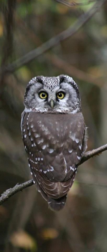 Boreal Owl - With head turned all the way around!
