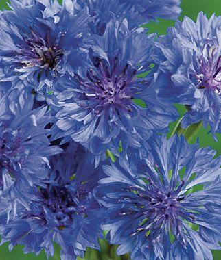 Blue Boy Cornflower Seeds and Plants, Annual Flower Garden at Burpee.com