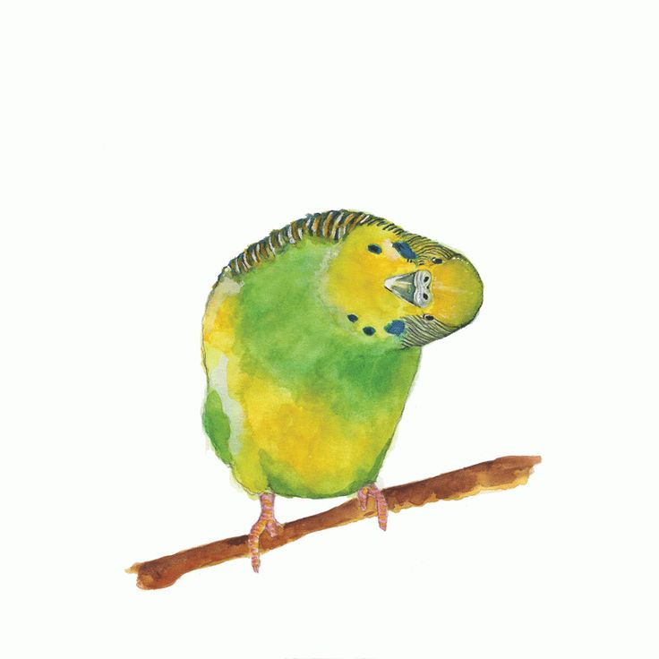 Berty the Budgie Giclee Print For Me By Dee