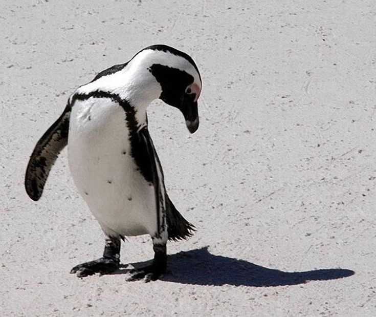 Is that my shadow!? - African Penguin