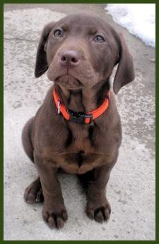 Chocolate Labrador Puppies - 3 months Vicary Labradors Liberty Grace