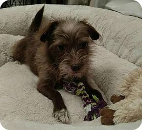 Pictures of Barnaby a Miniature Schnauzer/Terrier (Unknown Type, Small) Mix for adoption in Houston, TX who needs a loving home.