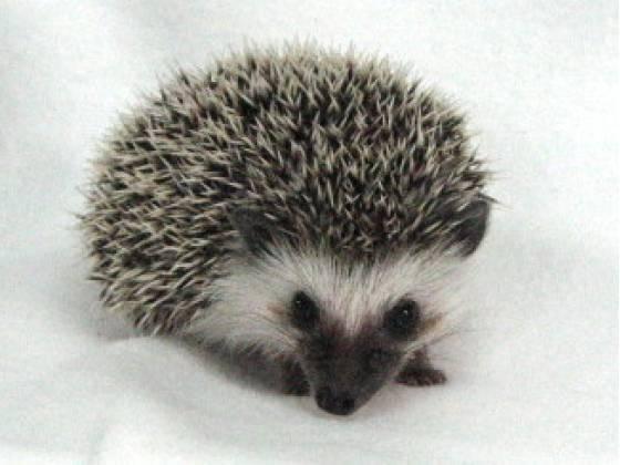 Aaaaah! It's a baby hedgehog :))))