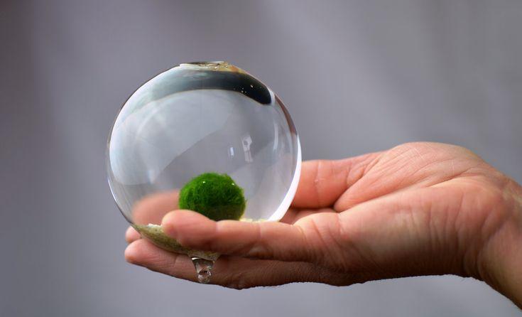 Marimo Moss Ball in miniature aquarium. $20.00, via Etsy.