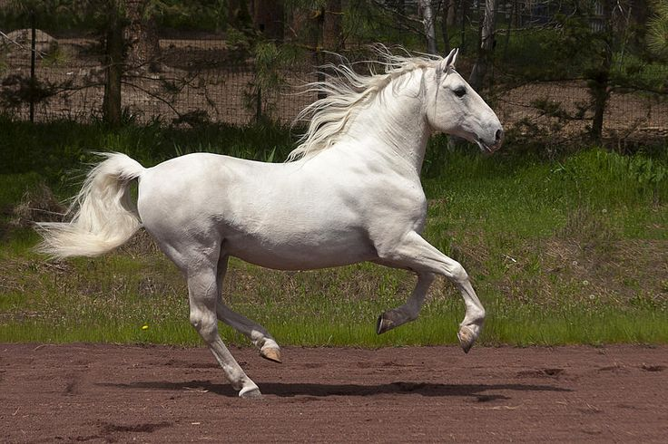 20 best lipizzaners images on pinterest equestrian for Where can i go horseback riding near me