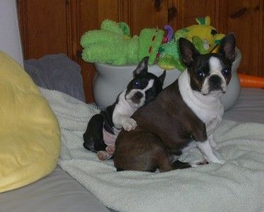 Boston Terrier. World's best, most loving dog. Great with kids and the elderly. A loving friend and companion.