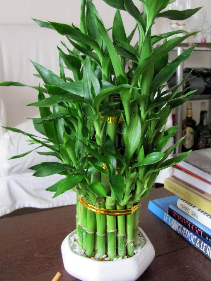 house plants to grow a bamboo house plant then you need some