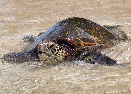 Как наземные, так и морские #черепахи очень благоприятны. Их присутствие привлекает новые возможности для бизнеса, увеличения дохода и богатс...