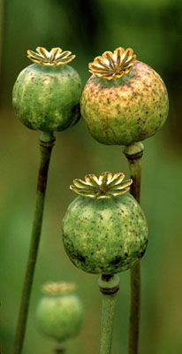 Dried poppy pods have been increasingly more difficult to find...