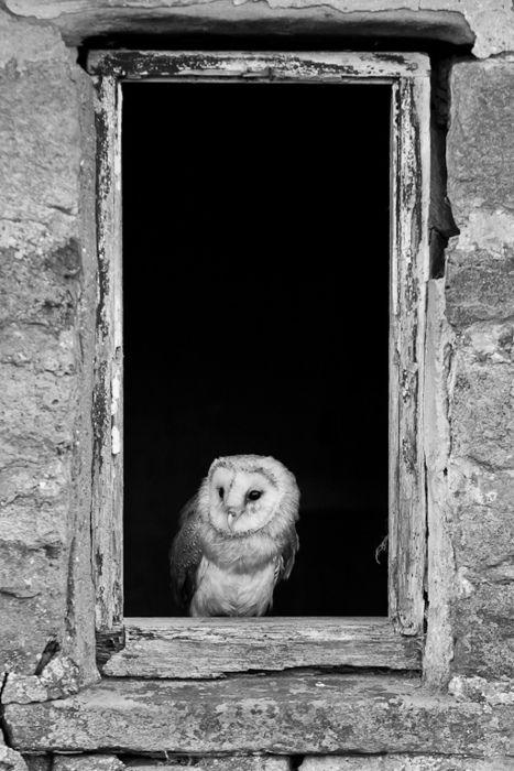 Beautiful Owl in the Window