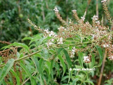 Mejores 11 im genes de cedron cultivo en pinterest for Salsa de hierba luisa