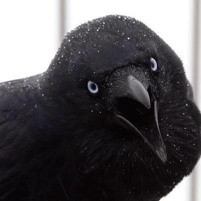 Those interested in the very early stories of ravens should note that they often speak of the raven as the crow, the two are often interchanged in myth folklore