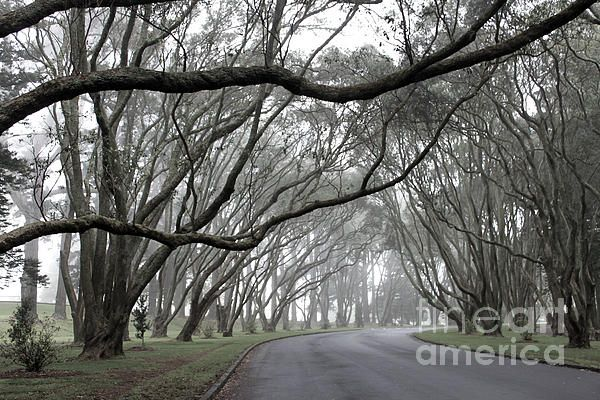 Eucalyptus tree on a misty morning in One Tree Hill, Auckland, New Zealand.