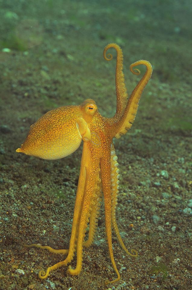 Poison Ocellate octopus (Octopus mototi) photo by Natalie Bondarenko. Body grows up to 10 cm with arms to 25 cm. A solitary octopus that likes to hide in crevasses or empty containers (tossed into sea). Orange coloration when resting or not threatened.