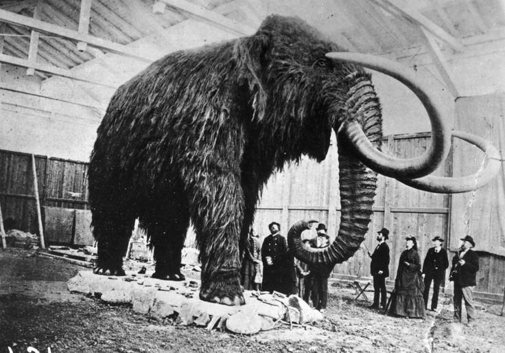 Historical photo of a stuffed Siberian mammoth. Chances are, it was a male.