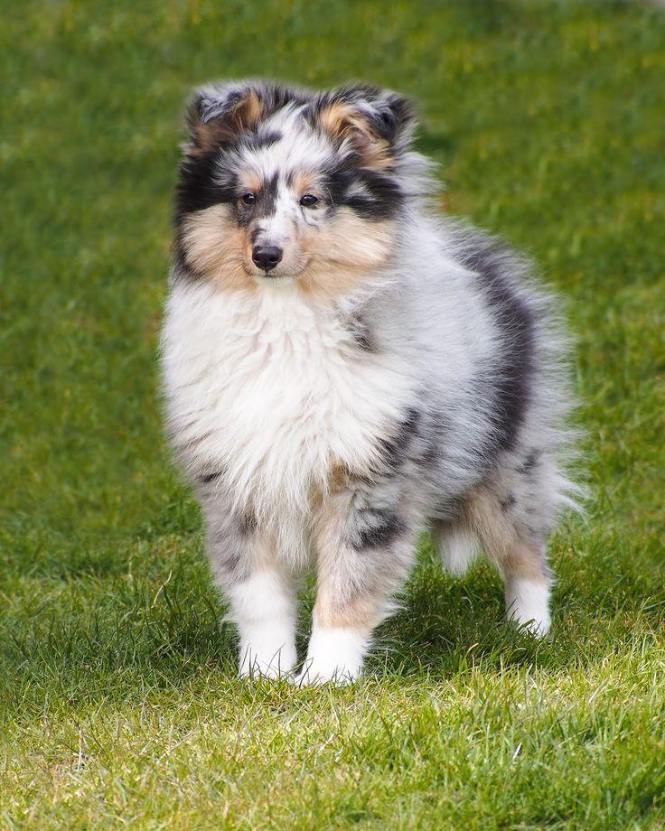 sheltie blue merle puppy
