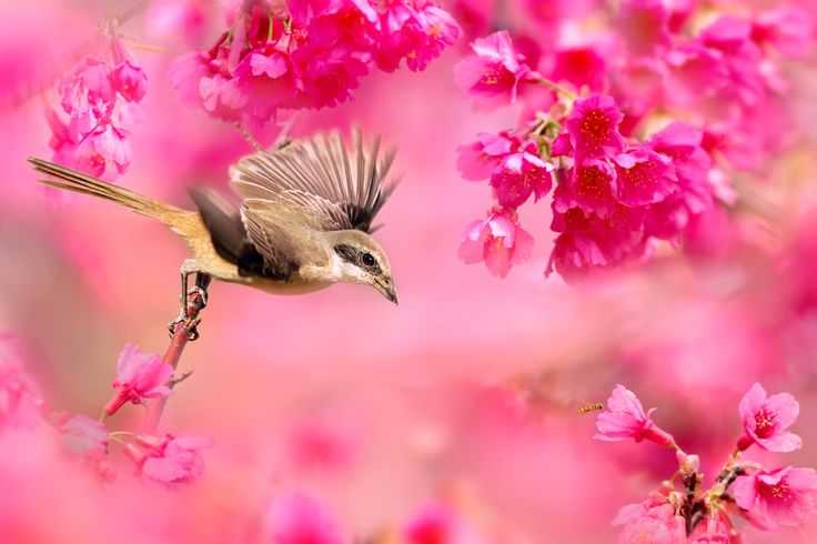Photograph ~ Brown Shrike ~ by FuYi Chen on 500px