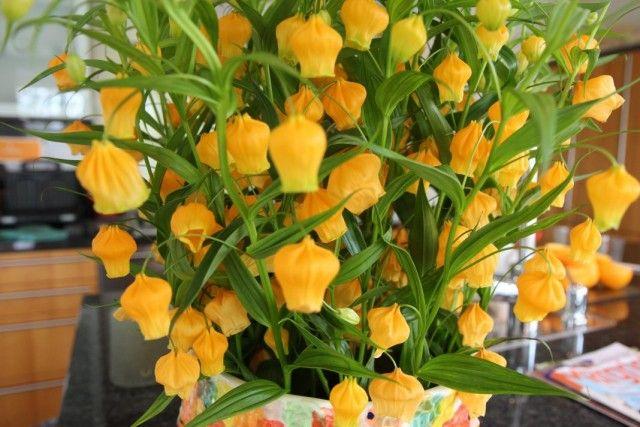 Сандерсония оранжевая (Sandersonia aurantiaca)