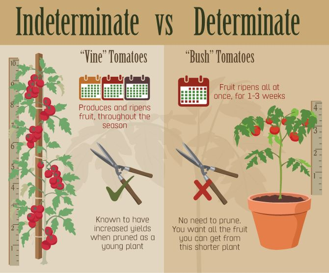 Indeterminate and Determinate Tomato Variety Comparison.Images/Inforgraphics by JThomas Fix.com