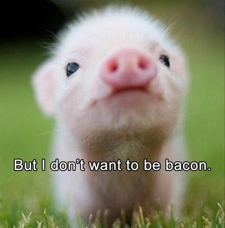 Im honestly not sure why this is supposed to be funny. It honestly makes me really sad. But I still eat bacon and pork without feeling bad about it, which is something I really need to work on because its just inhumane of me.