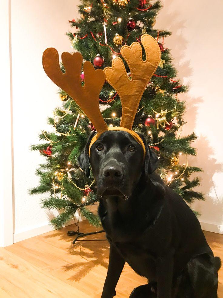 It's Christmas time 🎄 Dogs, Mans best friend, Labrador
