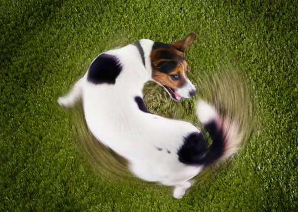Why do dogs hump things?