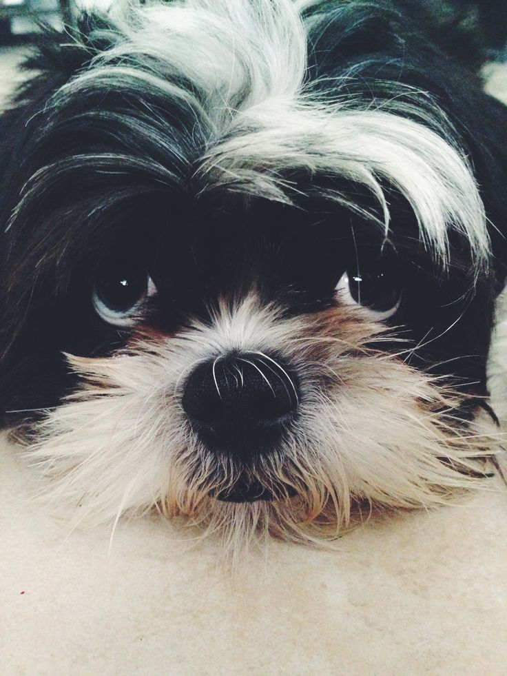 angelbaby shih tzu 64 best images about shih tzu love 989