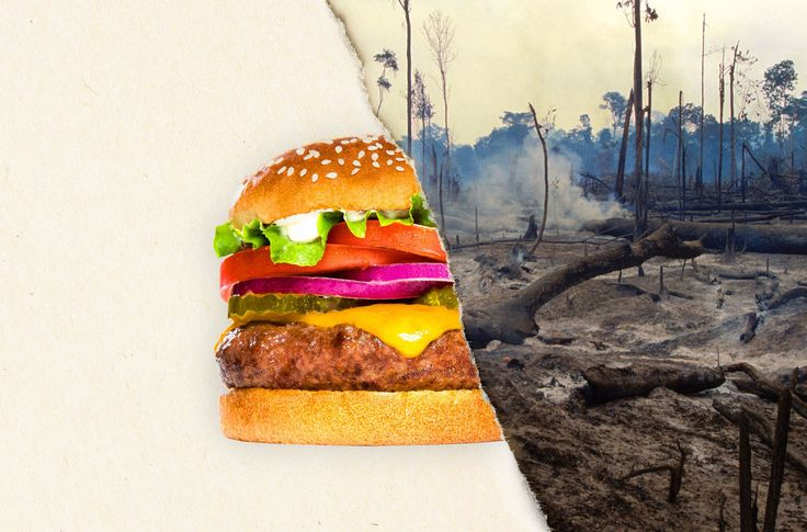 """""""Burger King refuses to answer questions about its suppliers despite overwhelming evidence that the cattle f/its beef are fed w/soy stemming from forest destruction."""" Click f/details & please SIGN & share petition to tell the fast-food giant to get deforestation out of its supply chain & to protect the habitat of jaguars & monkeys."""