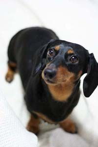 black and tan dachshund,the best!