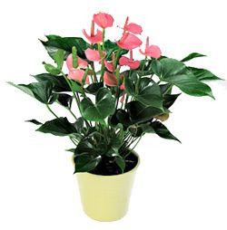 Anthurium-Pink-Champion  Si el Anthurium pasara frío durante mucho tiempo, acabaría muriéndose.