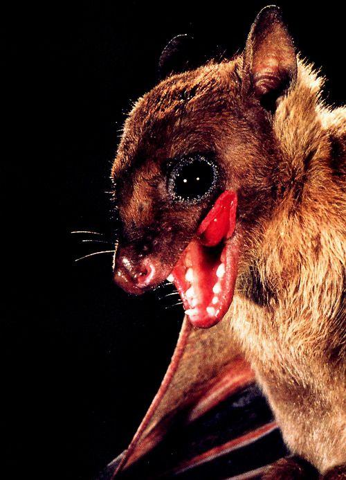 88 best animals-Bats images on Pinterest | Bats, Nature ...