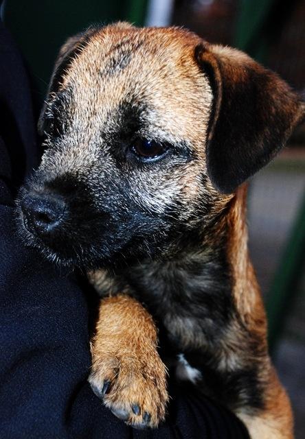 Got one sooner than I expected! Meet Boru, my new border terrier :)