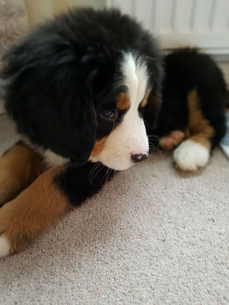 Molly the Bernese mountain dog puppy