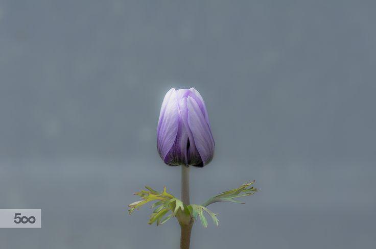 anemone coronaria by Graziella Serra Art & Photo on 500px
