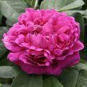 Rose de Resht #4 - Purpur-Violett - Rosa_damascena - Historische_Rosen - Container - Rosen von Schultheis
