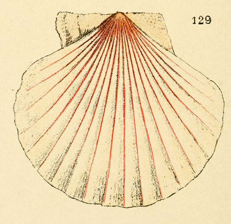 img/dessins coquillages france/dessin de coquillage - chlamys opercularis lineata - pectinides.jpg