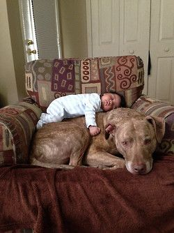 A baby and a 125lb Pit Bull