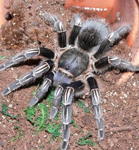 Aphonopelma seemanni -Striped-knee Tarantula