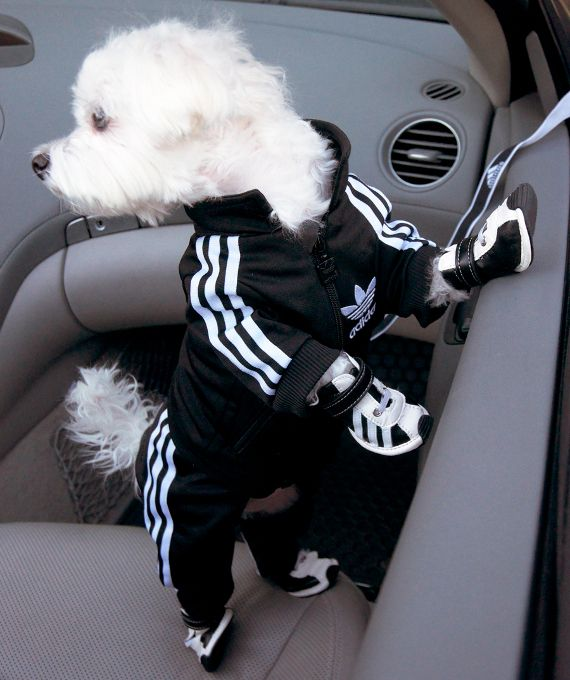 Adidas Track Suit For Your Pooch (with little sneakers too!)  #dogs #cute