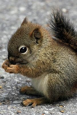 Baby squirrel. Squirrels are indigenous to the Americas, Eurasia & Africa.