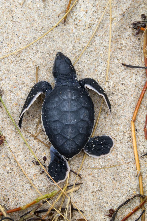 sea turtles | Baby Loggerhead Sea Turtle