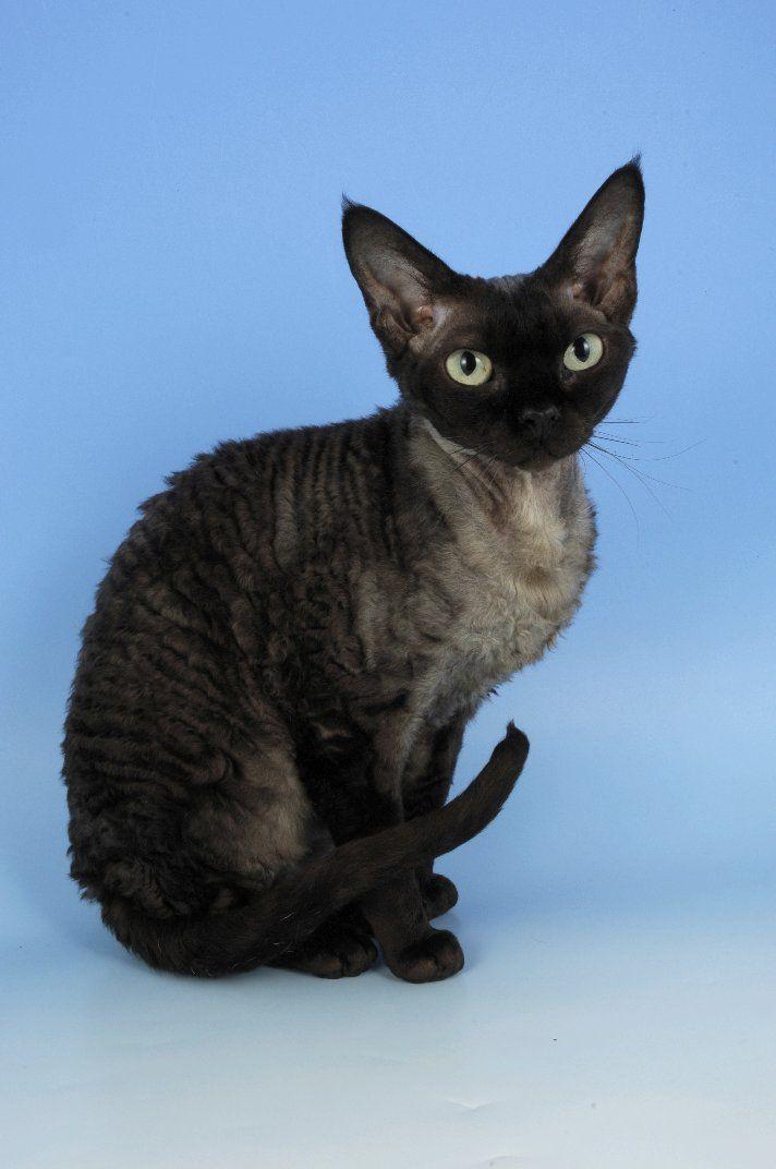 Devon Rex Cat  -low shedding -hypoallergenic -velvety soft