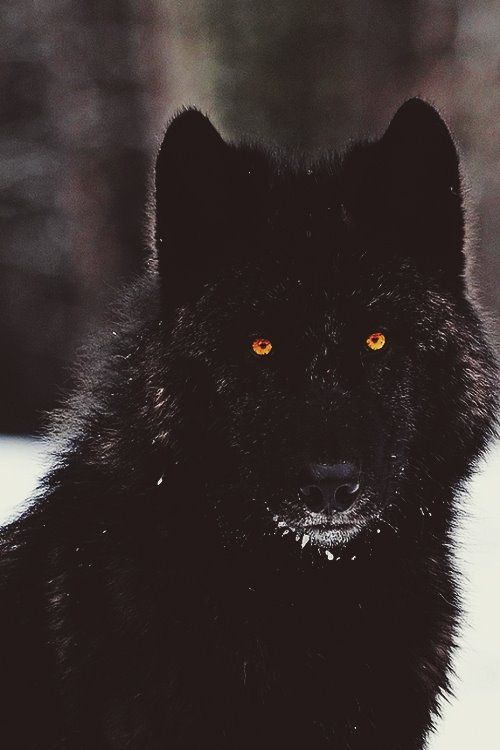 Life's Best #serious #black #wolf