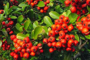 Feuerdorn 'Red Column'   Der Pyracantha coccinea 'Red Column' (Feuerdorn 'Red Column' ) ist eine Pflanze, die sowohl als Heckenpflanze als auch als Kletterpflanze verwendet werden kann. Der Feuerdorn 'Red Column' bildet im Mai und Juni hübsche, weiße Blütendolden, wonach im Herbst rote Beeren folgen.