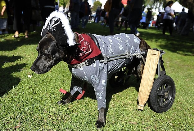 Leo, a parapalegic Boxer-Labrador mix, is dressed as a pirate with a peg leg at the Halloween Dog Costume Parade in Long Beach, California
