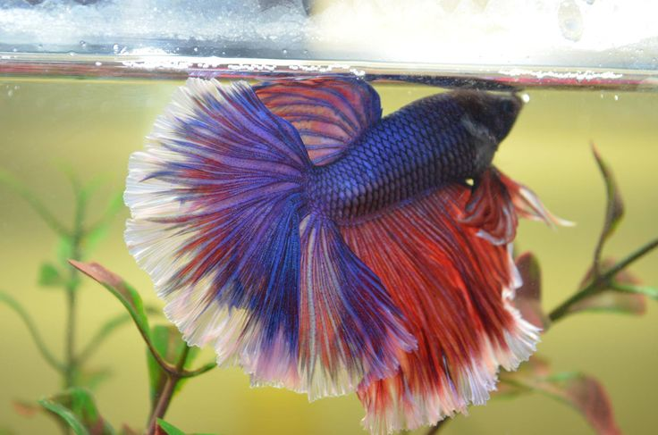 60 best siamese fighting fish images on pinterest betta for Betta fish personality