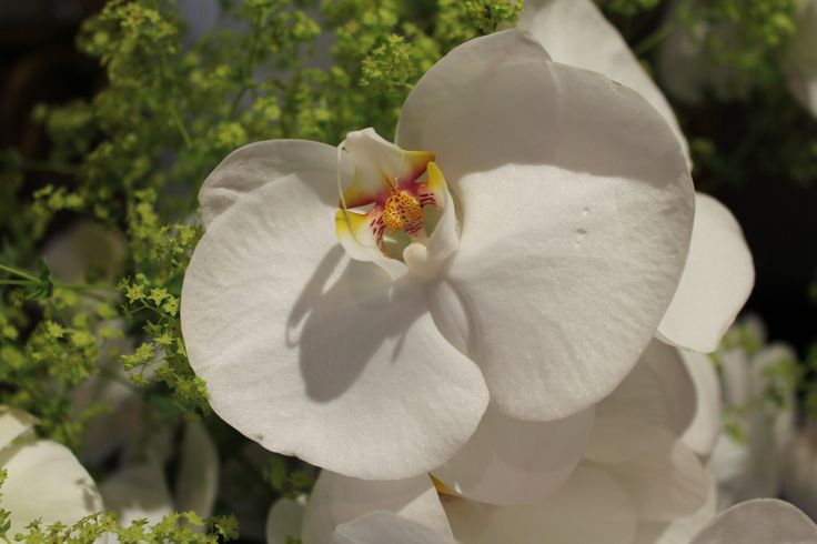 #Beautiful #White #Pure #Orchid