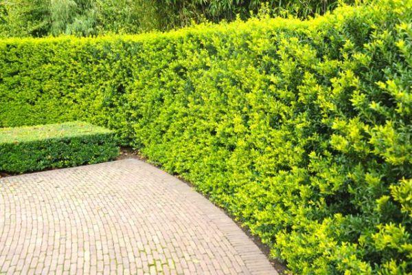 Berg-Ilex 'Green Hedge'  Der Berg-Ilex 'Green Hedge' ist eine immergrüne Art mit gerade aufwärts gerichteten Zweigen, die sich hervorragend für niedrige und höhere Hecken eignet. Der Berg-Ilex 'Green Hedge' ist eine gute Alternative zum Buchsbaum.